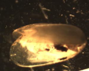 Ejemplar juvenil de Limnoperma