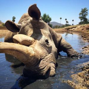 Nola rinoceronte blanco